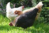 Three Happy Chickens