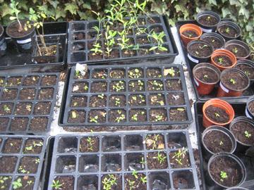 Seed trays 08.09.09